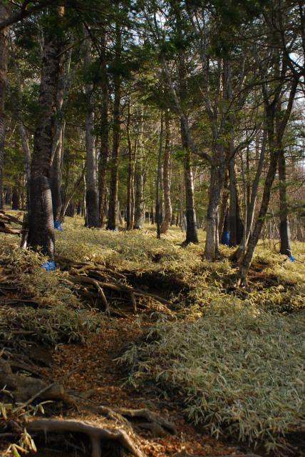 男体山の登山道_笹に覆われた樹林帯の登り_巨大な木の根