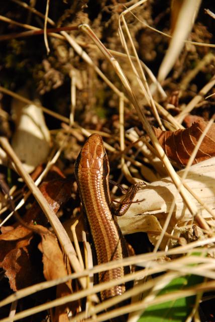 男体山の登山道で見つけたカナヘビ