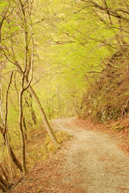 二俣まで林道歩き_冬枯れた森に緑の新芽
