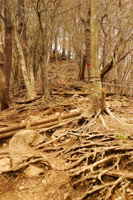 木の根の尾根道で鍋割山へ
