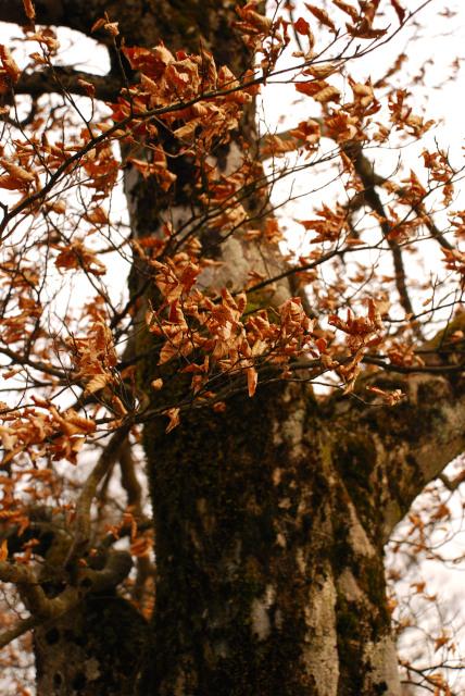 枯葉をつけたままのブナ