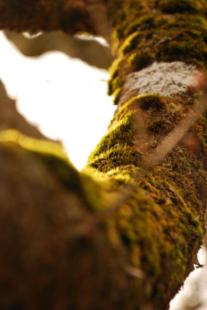 ブナの枝の上のコケに夕日が当たる