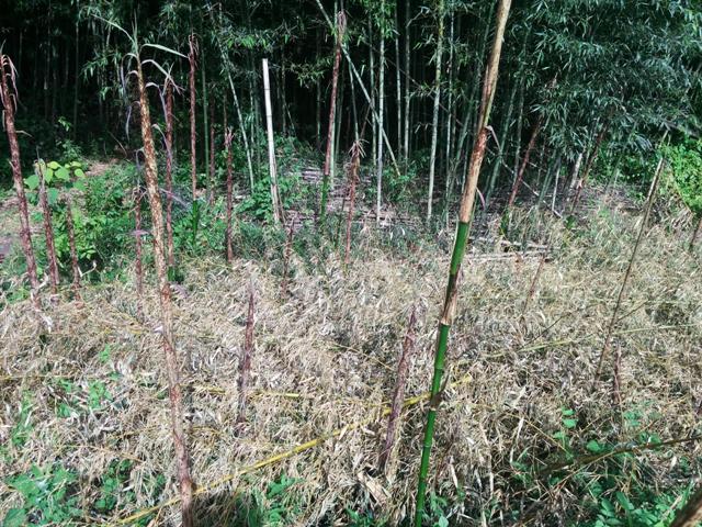 伸びた真竹