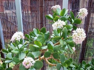 160413_3882今朝の「金のなる木」の花wideVGA