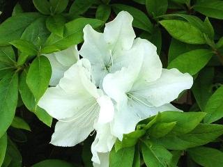 160426_3898ご近所の花壇に咲く白いツツジVGA