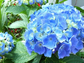 160602_3960家の周りに咲いていた紫陽花VGA