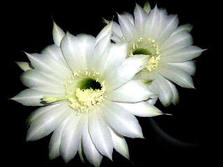 160607_3970ベランダの「花盛丸」の白い花・正面からVGA