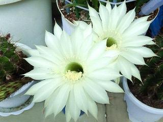 160608_3973今朝のベランダの子「花盛丸」の花・正面からVGA