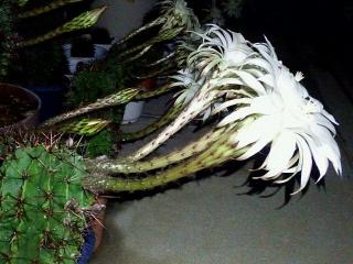 160608_3982ベランダの子「花盛丸」の花・横からVGA