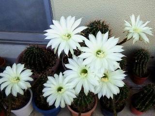 160610_3994今朝のベランダのサボテンの花VGA