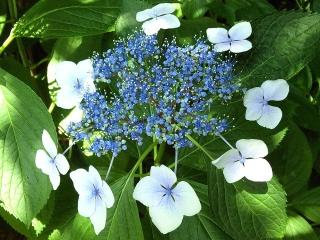 160610_4001ご近所の花壇に咲いていた額紫陽花VGA