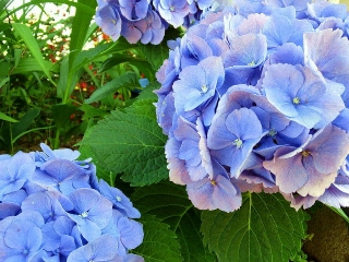 160618_4015家の周りの花壇に咲いている紫陽花VGA
