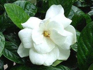 160630_4026出先の生垣に咲いていたクチナシの花VGA