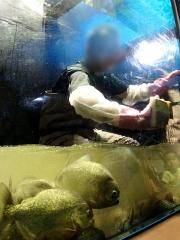 160709 神戸新聞NEXT 須磨水族園でピラニア水槽の清掃体験 b_09269445_縦VGA