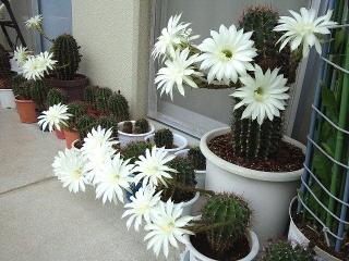 160716_4053今朝のサボテンの花達VGA