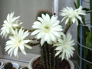 160716_4054今朝の親サボテンの花VGA