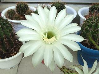 160716_4057今朝の子サボテンの花zoomVGA