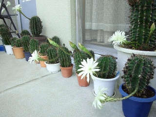 160723_4073今朝のサボテンの花達VGA