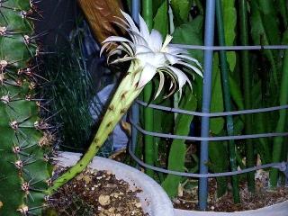 160723_4075今夜咲いた親サボテンの花・横からVGA