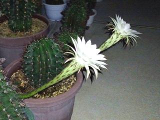 160803_4112今夜咲いた子サボテンの花2輪・横からVGA
