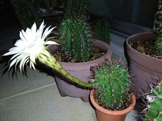 160807_4117今夜開いた子サボテンの花・横からVGA