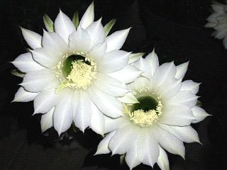 160828_4154今夜咲いた幻想的なサボテンの花VGA