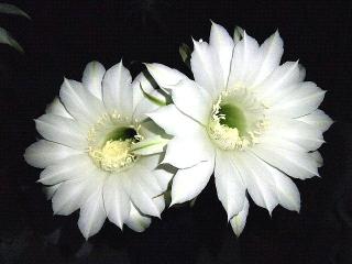 160905_4167今夜のサボテンの花VGA