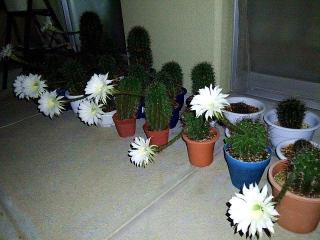 160929_4206今夜11輪咲き揃ったサボテンの花達wideVGA