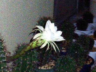 161028_4275今夜咲いた季節はずれのサボテンの花・横からVGA