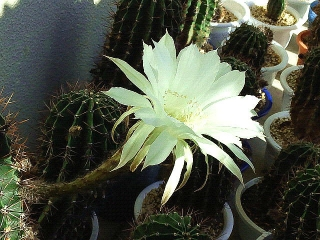 161029_4278今朝のサボテンの花・横からVGA