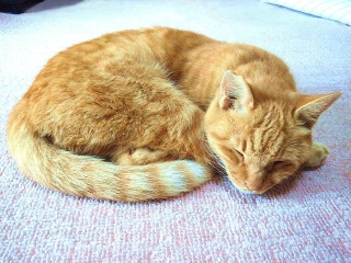 161107_4290今朝のトラ美ちゃんの寝姿VGA