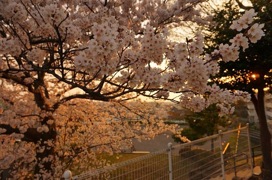 08 餅塚の桜