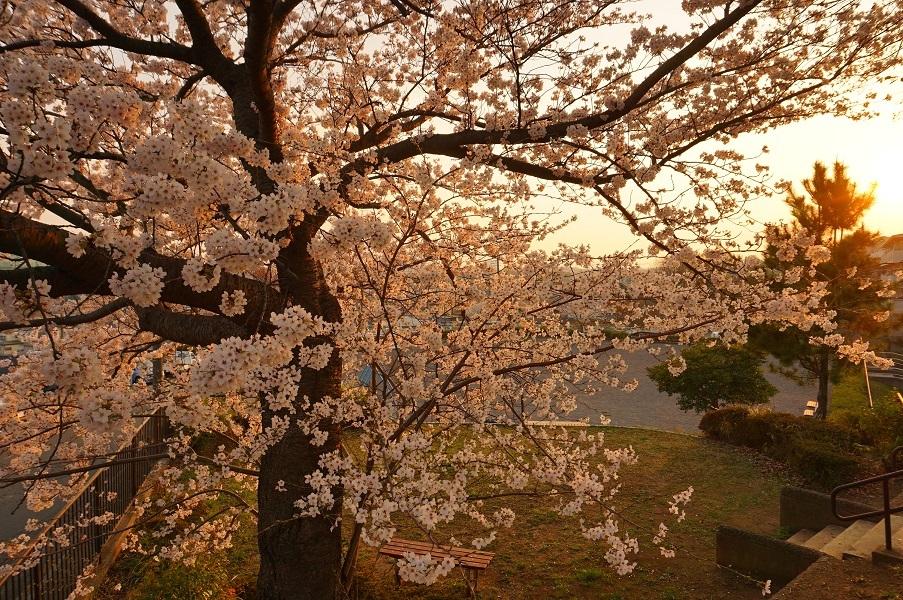 09 餅塚の桜