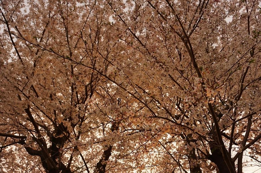07 登戸富士塚古墳 墳頂の桜