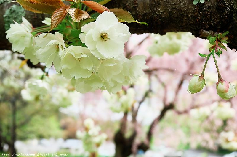 DSCF6512鬱金桜