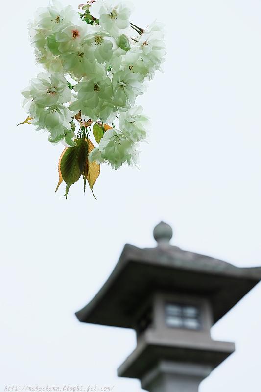 DSCF6543鬱金桜