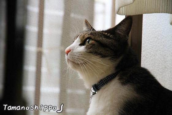 キリっとしたお顔の猫(ちび)窓からお外を眺める猫
