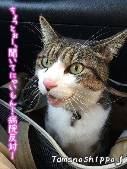 車の中で「病院反対!」と叫ぶ猫(ちび)