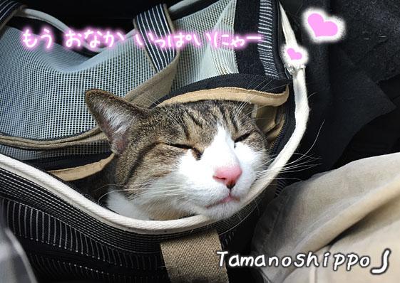 車の中で寝る猫(ちび)缶詰め食べてお腹いっぱいニャー