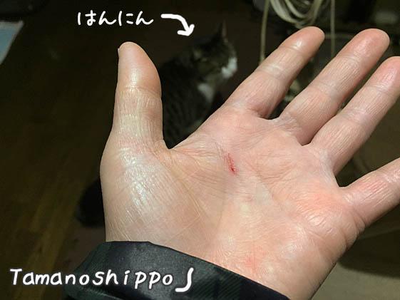 猫に噛まれた手(ちび)