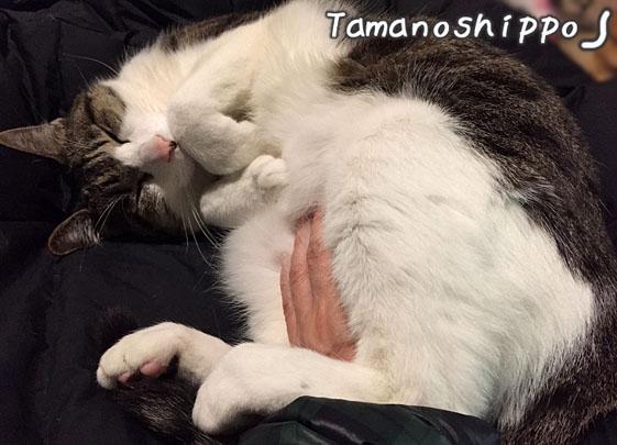 甘えながら寝る猫(ちび)
