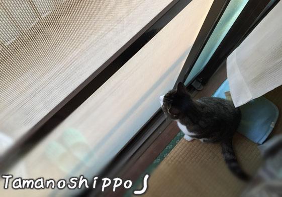 網戸越しにお外を眺める猫(ちび)網戸メイン