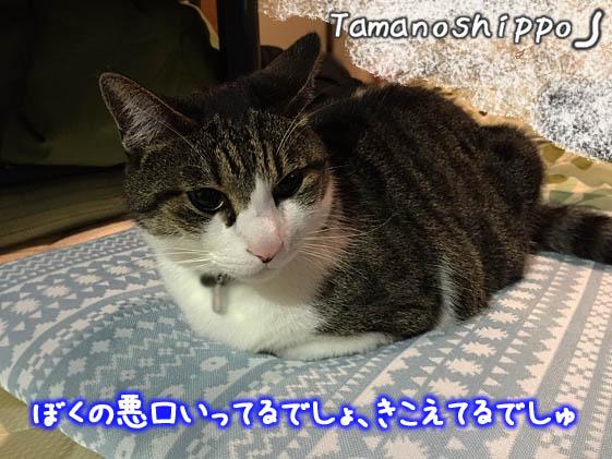 新しい座布団に座って満足してる猫(ちび)