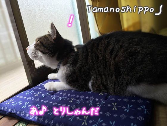 窓辺でのんびりする猫(ちび)あ、とりしゃんだ