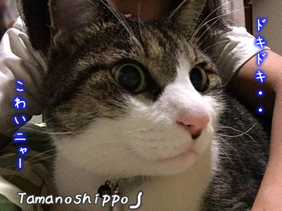 人間の足元に避難してきた猫(ドキドキ怖がっているちび)