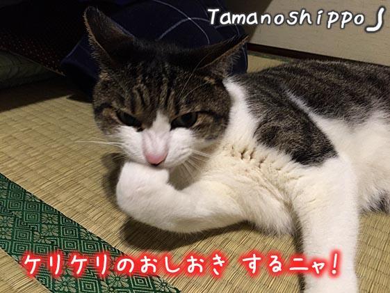 ケリケリのおしおきの準備をする猫(ちび)怒っている猫