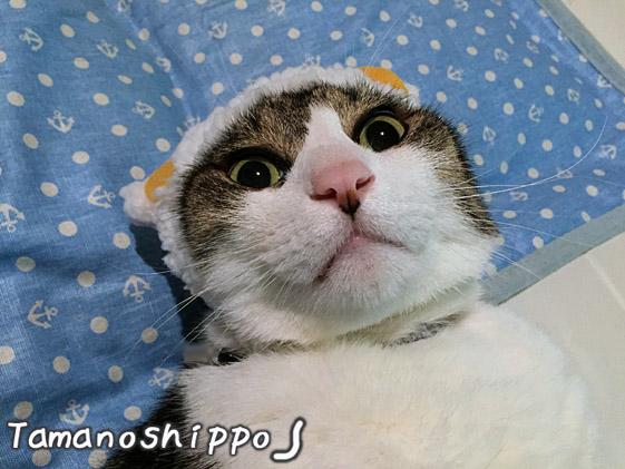 ひつじのかぶりものを被った猫(ちび)ビックリな顔