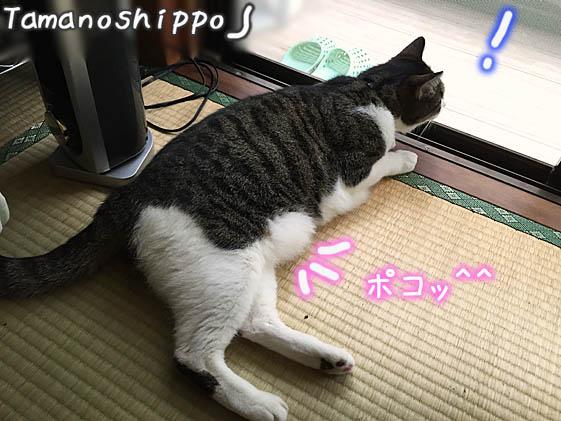 窓辺でのんびりお外眺めている猫(ちび)お腹がポコって出てるよ