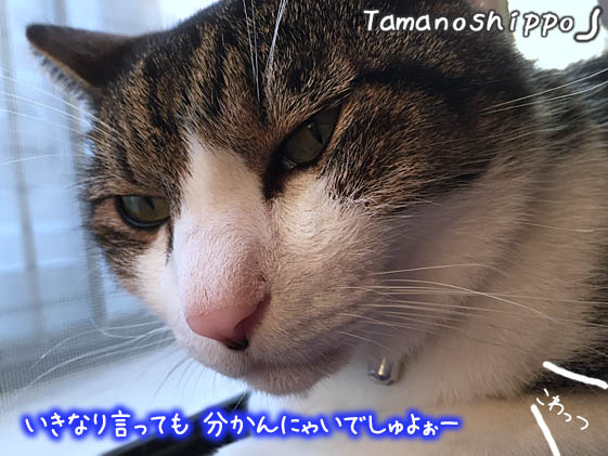 怒り顔の猫(ちび)分かんにゃい~