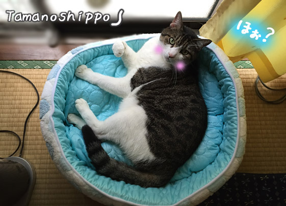 新しい猫ベットの中で寛ぐ猫(ちび)